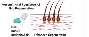 Skin Regeneration Regulators